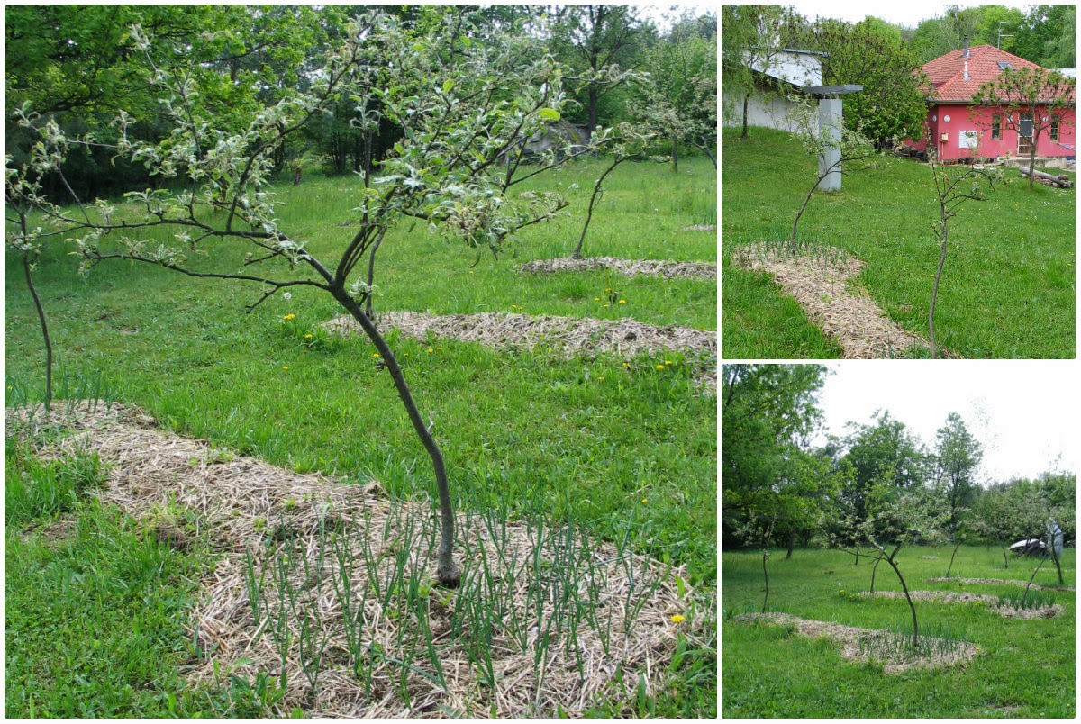 What apple tree to plant